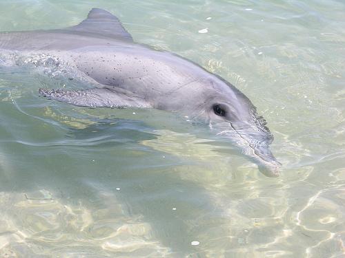 Dolphin.monkey.mia_Tursiops