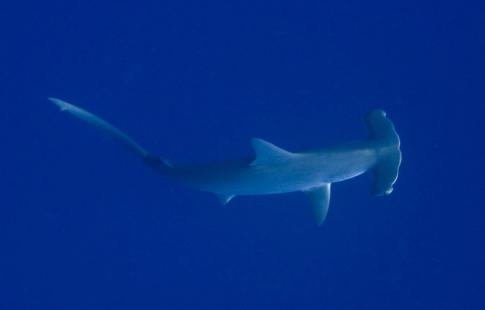 hammerhead_shark_1