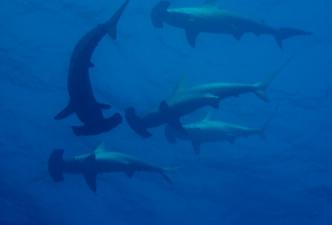 hammerhead_shark_2