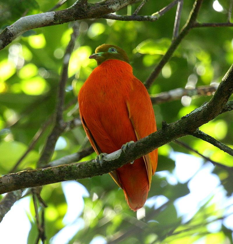 800px-Orangedove_taveuni_june2008