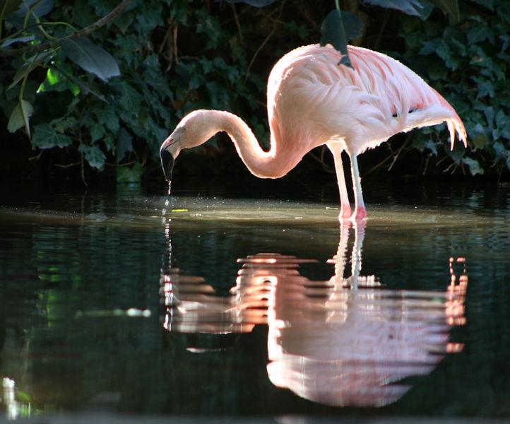 Flamingo im Adelaide Zoo
