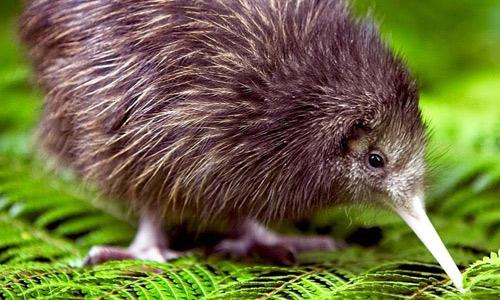 Ganz nah am Kiwi