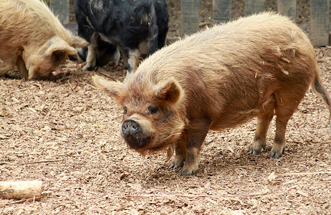 Kunekune_Pig_at_Hamilton_Zoo