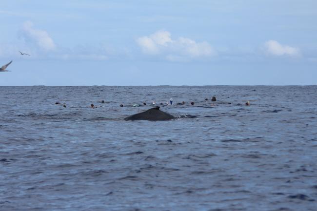 Buckelwale & Menschen im Wasser vor Moorea
