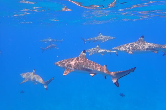 Unterwasserfoto: Haie auf Bora Bora