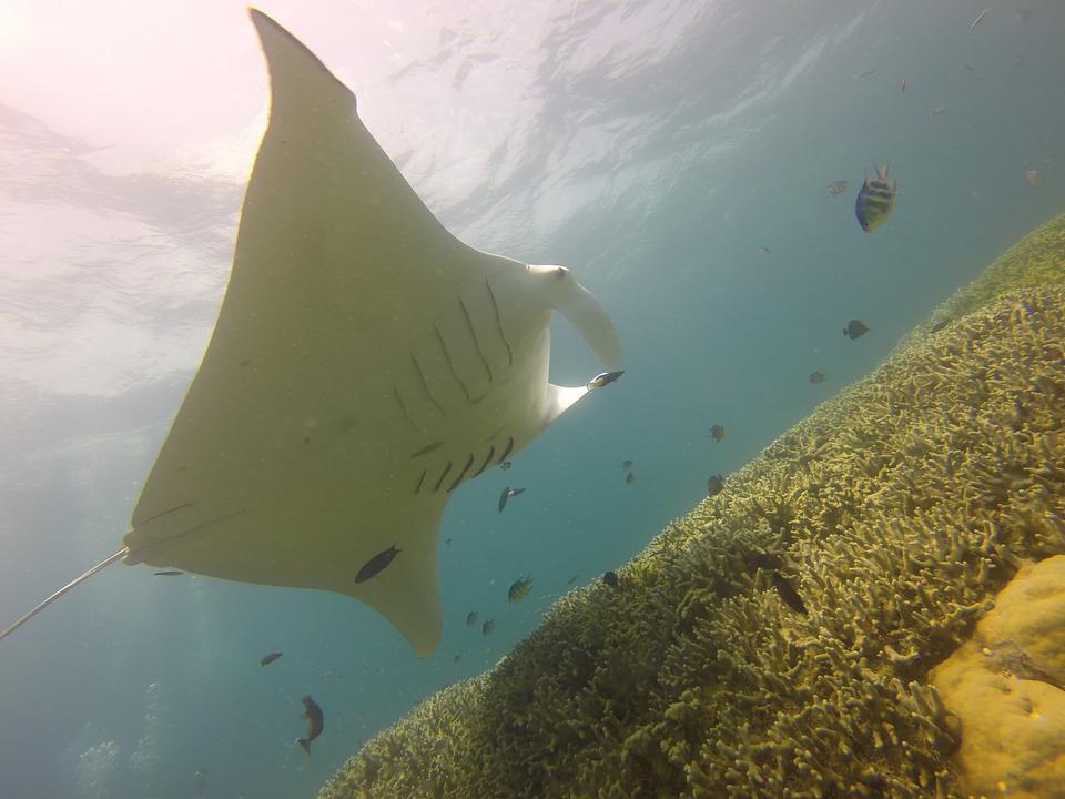 Begegnung mit Mantarochen in Mikronesien