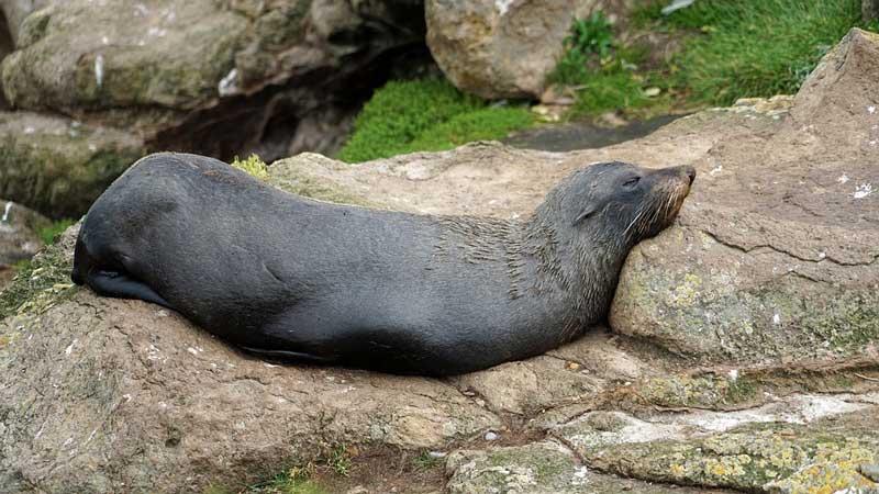 Neuseeländischer Seelöwe