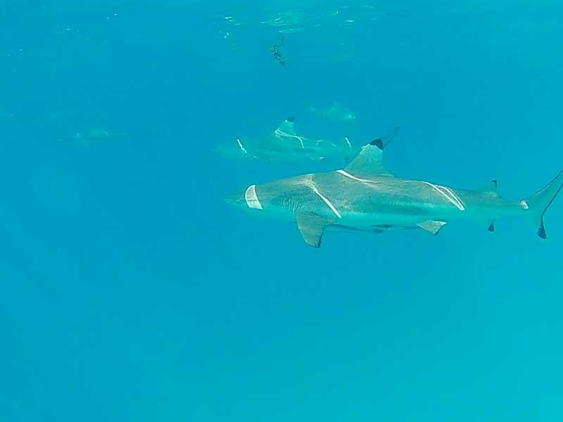 Schwarzspitzenriffhaie in Rangiroa
