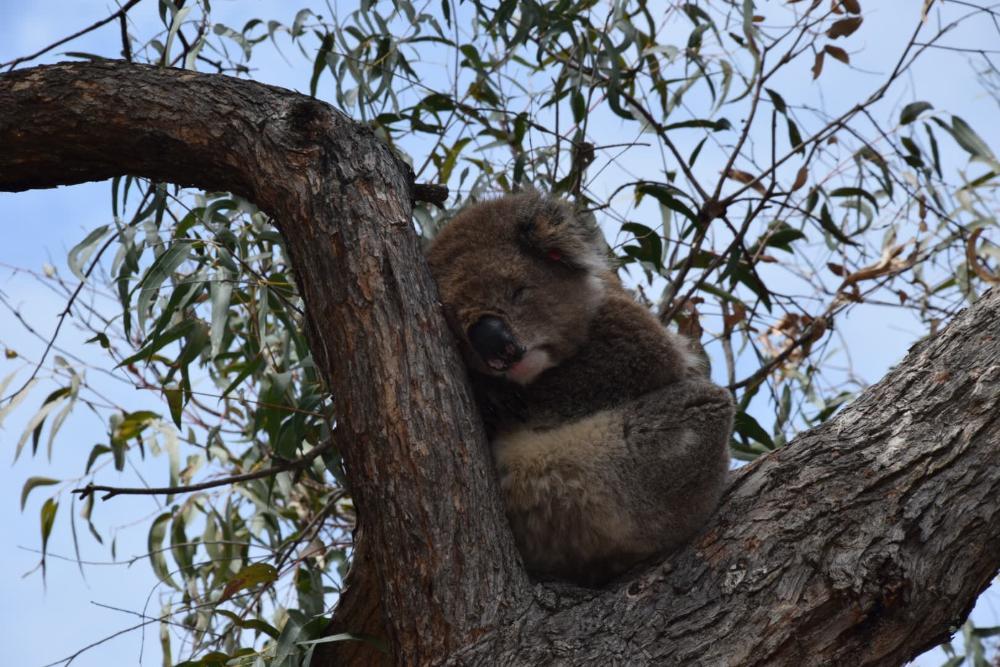 Koala auf auf Raymond Island