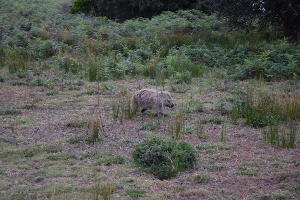 Wombat in der wildlife area des Wilsons Promontory Nationalp