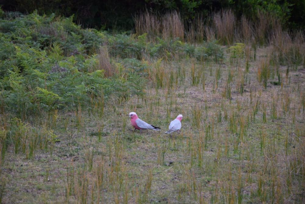 Vögel in der wildlife area des Wilsons Promontory Nationalp