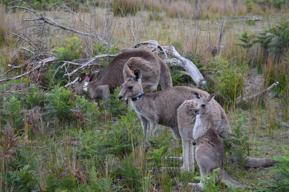 Kängurus in der wildlife area des Wilsons Promontory Nationalp