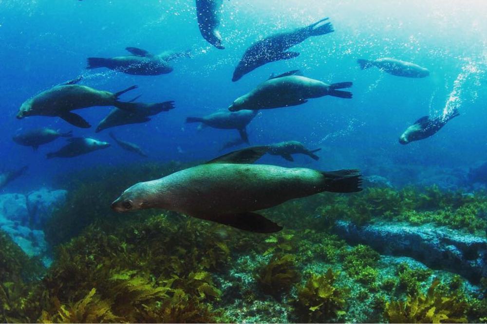 Seelöwen beim Tauchgang auf Montague Island