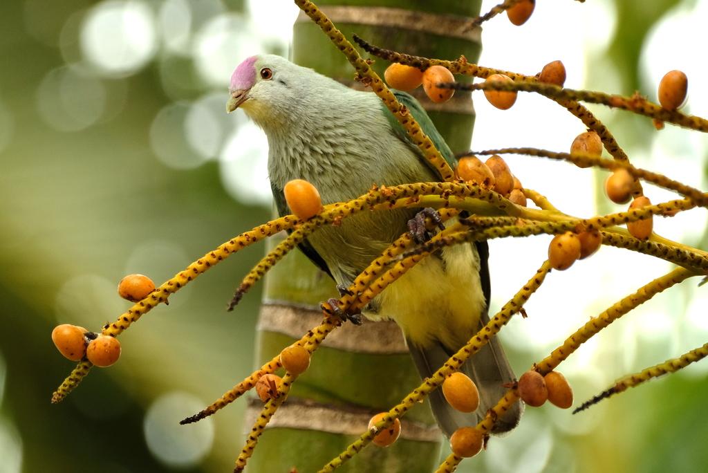 Rarotonga-Fruchttaube