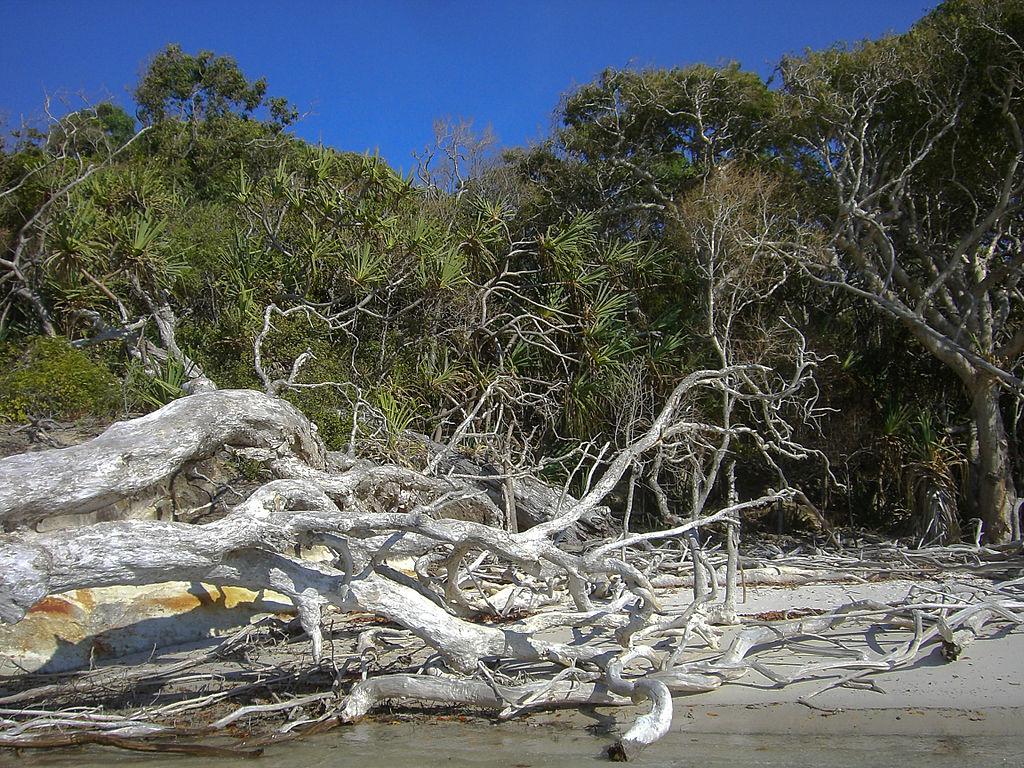 Mangroven auf Whitsunday Island