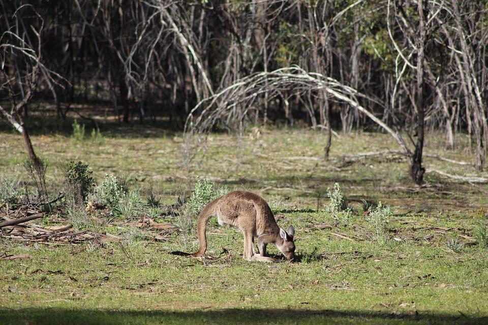 Känguru im Flinders Range Nationalpark