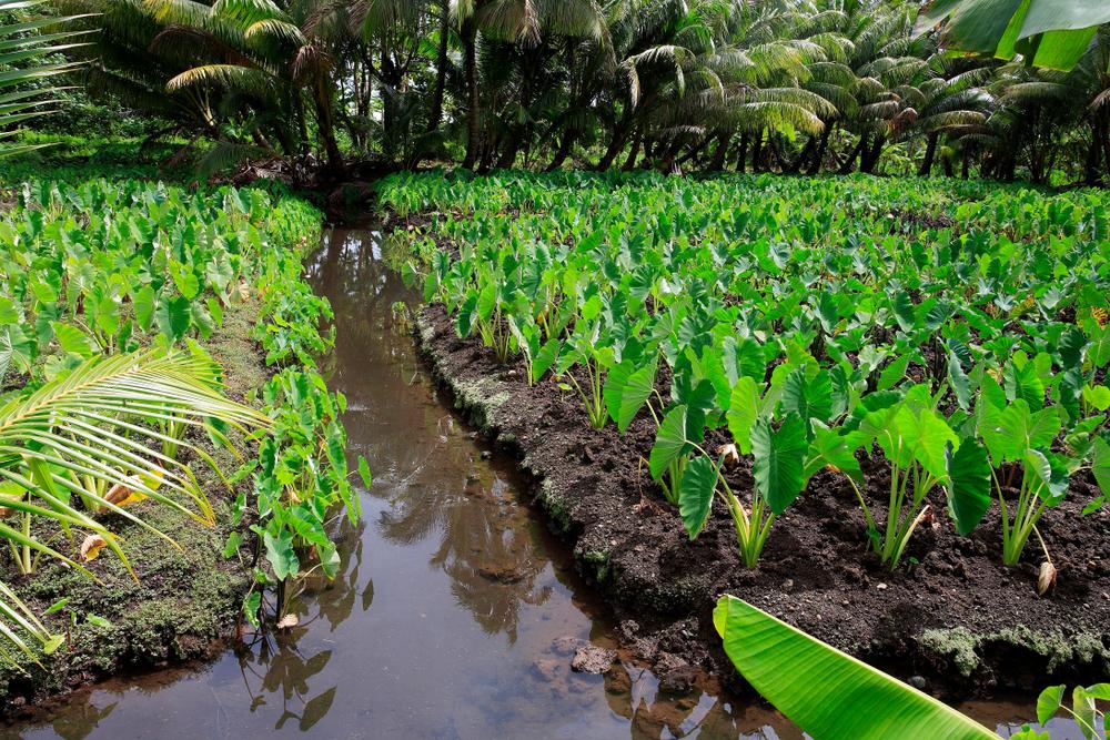 Taro Plantage auf Tahiti