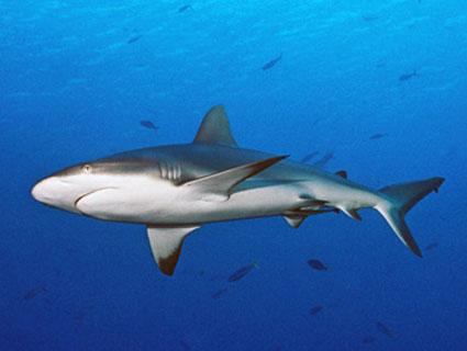 Palau Tauchreise Meet the Sharks